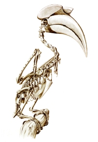 KvG-great hornbill skeleton small