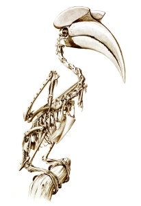 KvG-great hornbill skeleton small